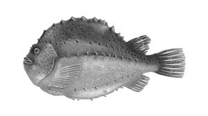 Stenbider – Cyclopterus lumpus - FiskerForum