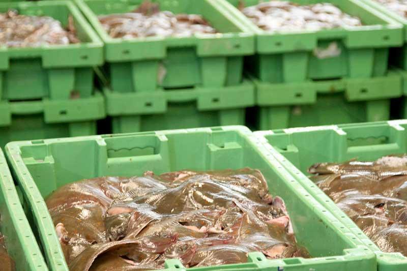 Der landes flere fisk i Thyborøn